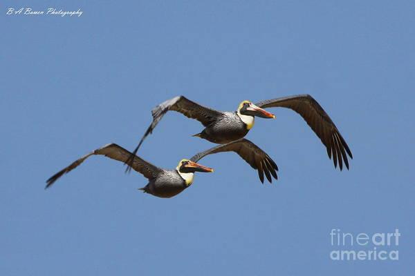Photograph - Duel Pelicans In Flight by Barbara Bowen