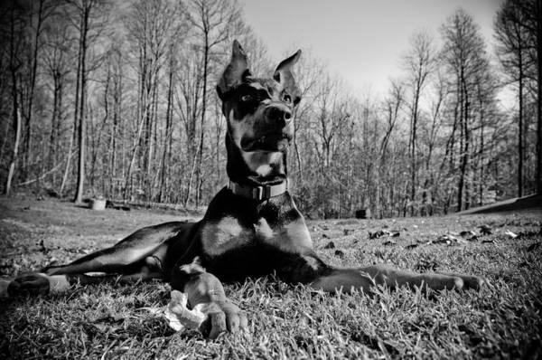 Doberman Photograph - Duke by Melissa  Riggs