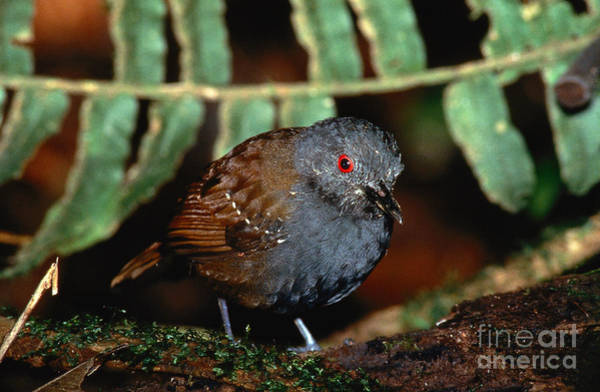 Wall Art - Photograph - Dull-mantled Antbird by Rick & Nora Bowers