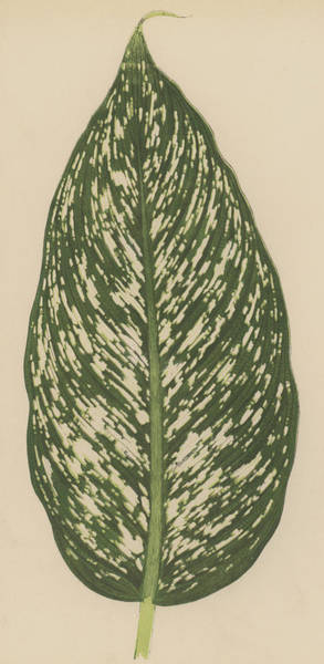 Leaf Venation Wall Art - Painting - Dumbcane by English School