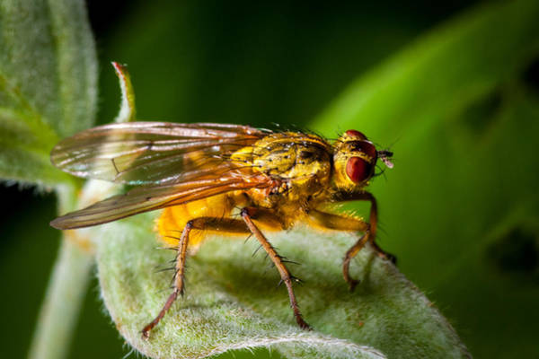 Photograph - Dung Fly On Leaf by Jeff Phillippi