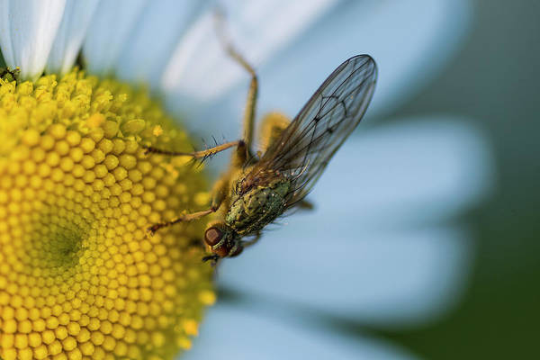 Photograph - Dung Fly by Robert Potts
