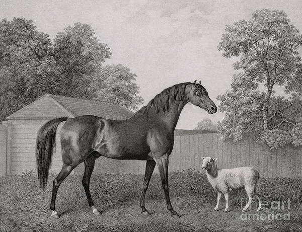 Equestrian Drawing - Dungannon by George Stubbs