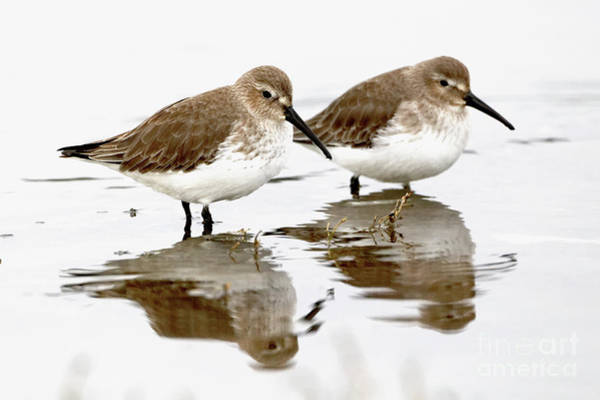 Dunlin Photograph - Dunlin Seeing Double by Sue Harper