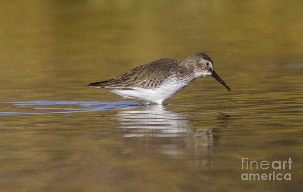 Dunlin Photograph - Dunlin In The Pond by Ruth Jolly