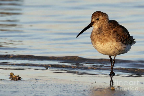 Photograph - Dunlin by Meg Rousher