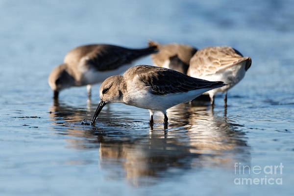 Photograph - Dunlin Sandpipers At The Shoreline by Sue Harper
