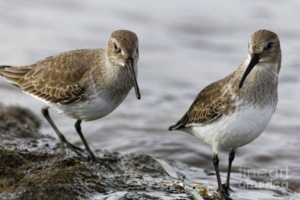 Photograph - Dunlin Sandpipers by Sue Harper