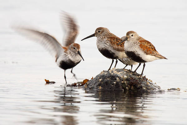 Calidris Alpina Wall Art - Photograph - Dunlin Winging In To Join Flock by Max Allen