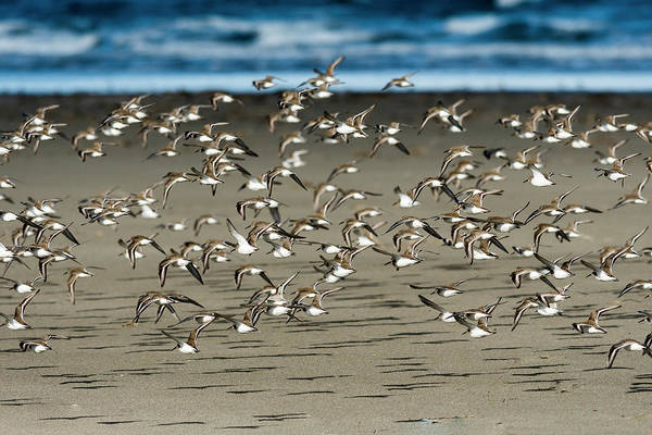 Photograph - Dunlins And Shadows by Robert Potts