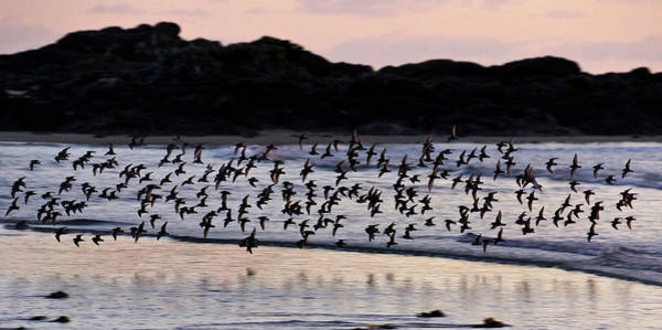 Dunlin Photograph - Dunlins In Flight by Inge Riis McDonald