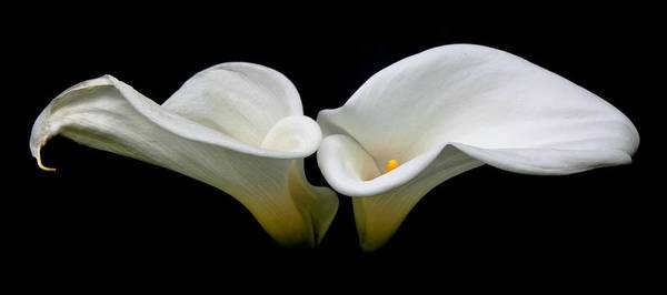Calla Lillies Photograph - Duo by Cathie Tyler