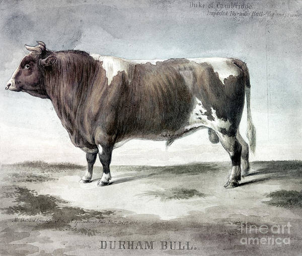 Photograph - Durham Bull, 1856 by Granger