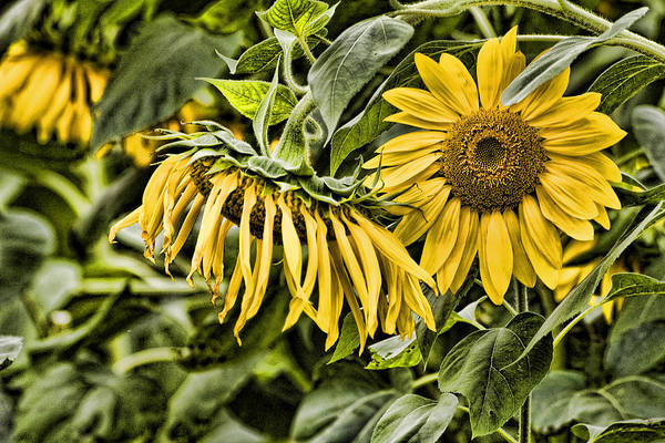 Wall Art - Photograph - Durham Sunflowers 3 by Edward Sobuta