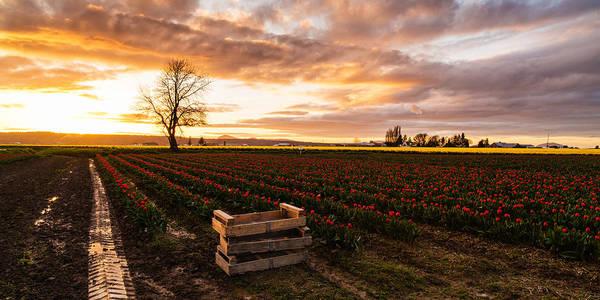 Mount Vernon Photograph - Dusk Golden Light In The Tulip Fields by Mike Reid