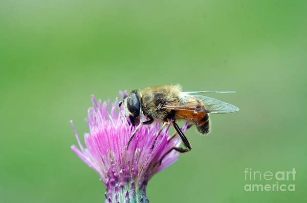 Wall Art - Photograph - Dusting - Syrphyd Fly On The Bloom by Michal Boubin