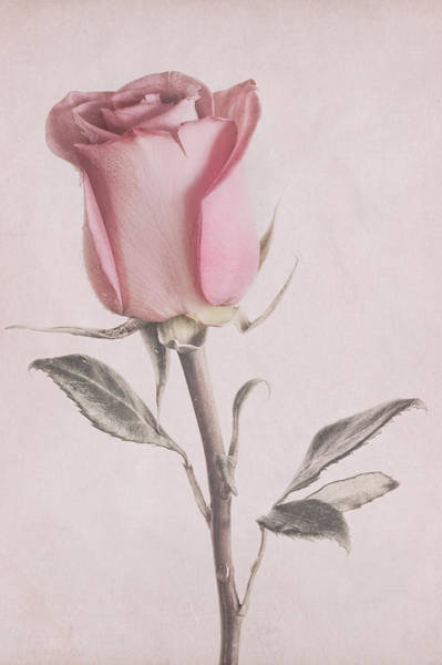 Photograph - Dusty Pink Rose by Garvin Hunter
