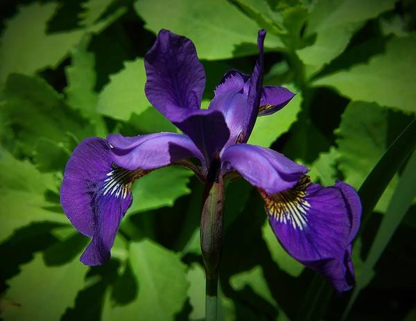 Photograph - Dutch Iris by Allen Nice-Webb