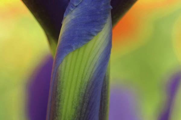 Unopened Wall Art - Photograph - Dutch Iris by Robert Dayton