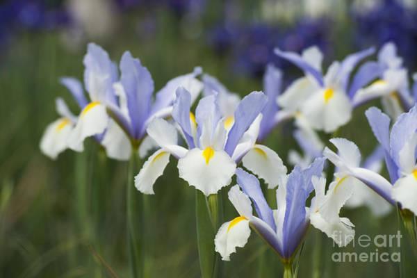 Iris Photograph - Dutch Iris Silver Beauty by Tim Gainey