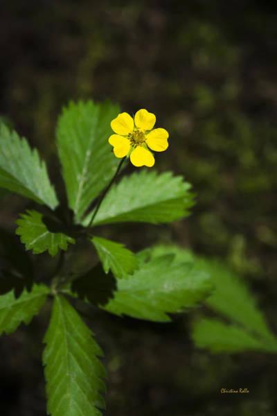 Photograph - Dwarf Cinquefoil Flower by Christina Rollo