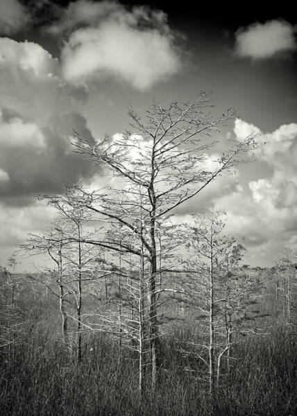 Photograph - Dwarf Cypress Trees 0084bw by Rudy Umans