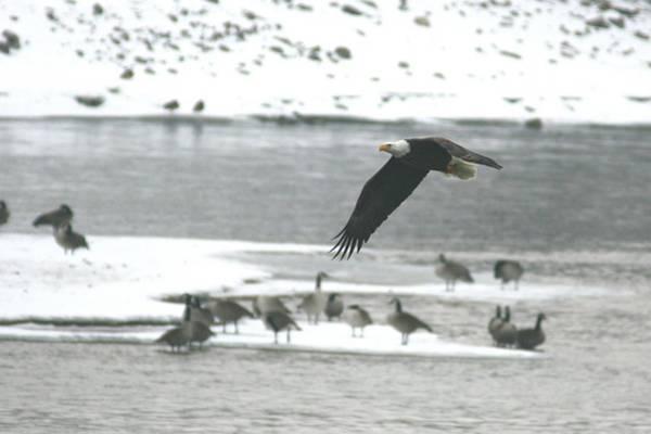 Photograph - Eagle - Des Moines River 1 by David Dunham