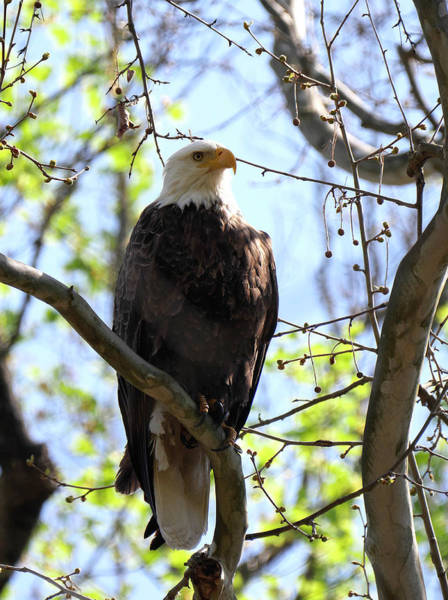 Photograph - Eagle 1 by Paul Ross