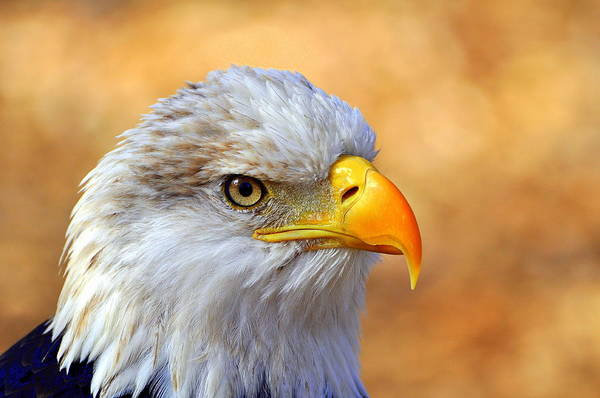 North American Photograph - Eagle 7 by Marty Koch