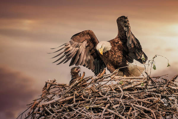 Photograph - Bald Eagle And Eaglet In Nest by Patti Deters