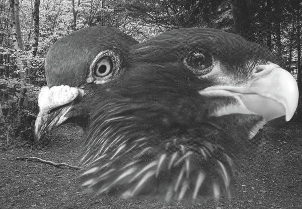Photograph - Eagle And Pigeon Fine Art by Jacek Wojnarowski