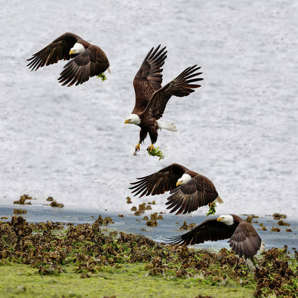Photograph - Eagle Ascending by Wes and Dotty Weber