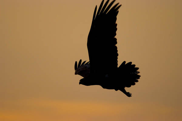 Photograph - Eagle At Sunset  by Cliff Norton