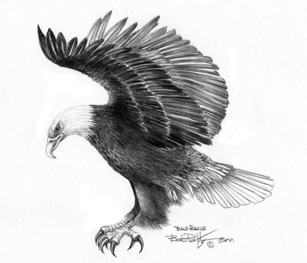 Bald Eagles Drawing - Eagle Attacking by Bob Patterson