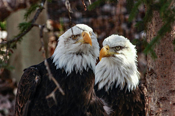 Photograph - Eagle Buddies by Frank Vargo