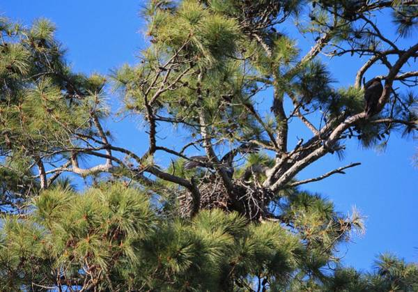Photograph - Eagle Chicks by Cynthia Guinn