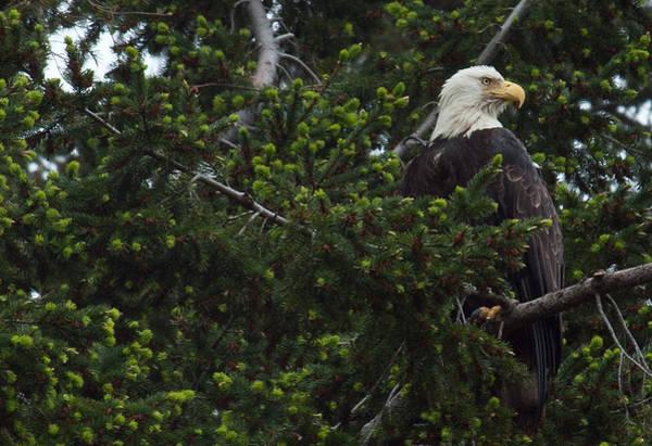 Photograph - Eagle Eye by Randy Hall