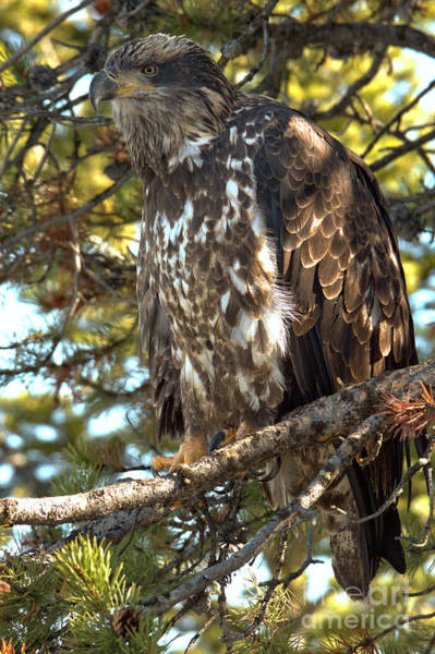 Photograph - Eagle Eyes In The Trees by Adam Jewell