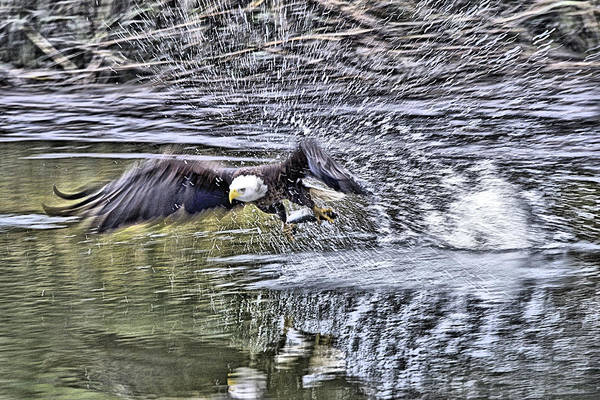 Photograph - Eagle Fishing by Bill Hosford
