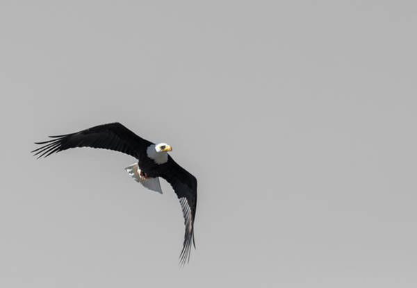 Photograph - Bald Eagle Flight by Britt Runyon