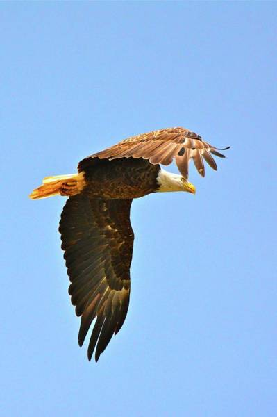Photograph - Eagle Flyby by Don Mercer