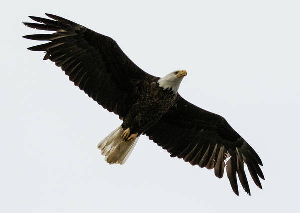 Photograph - Eagle From Below by Gloria Anderson