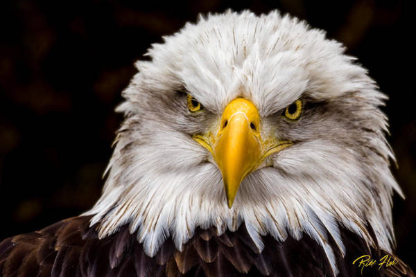 Photograph - Defiant And Resolute - Bald Eagle by Rikk Flohr