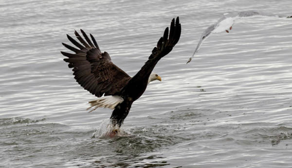 Photograph - Eagle Grabbing Some Lunch by Gloria Anderson