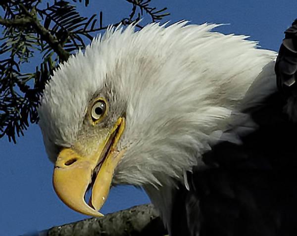 Photograph - Eagle Head by Sheldon Bilsker