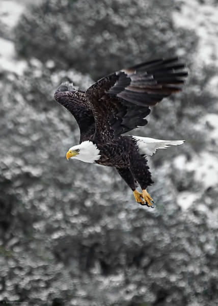 Photograph - Eagle In Flight by Britt Runyon