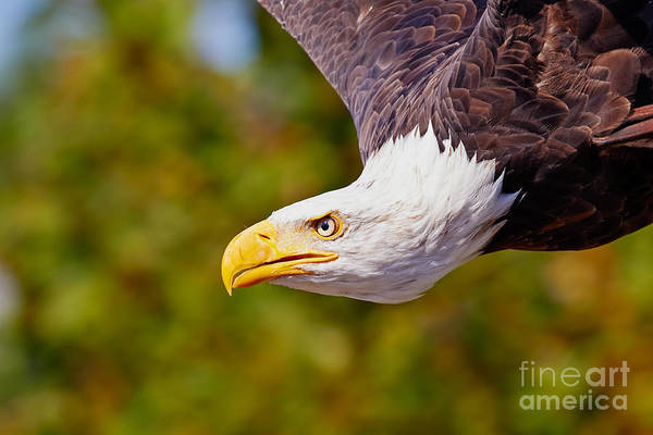 Photograph - Eagle In Flight, Closeup by Nick  Biemans
