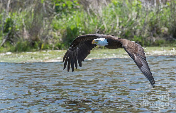 Photograph - Eagle In Flight by Steve Somerville