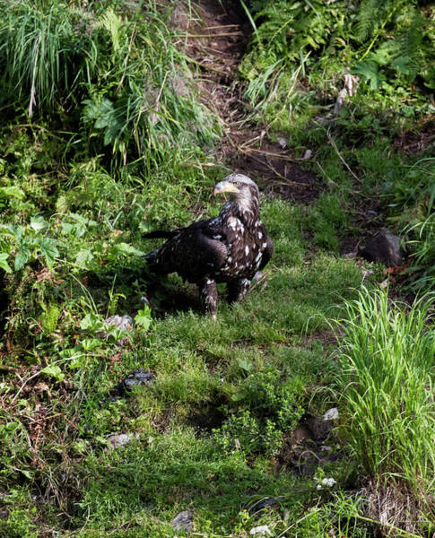 Photograph - Eagle In The Grass by Gloria Anderson