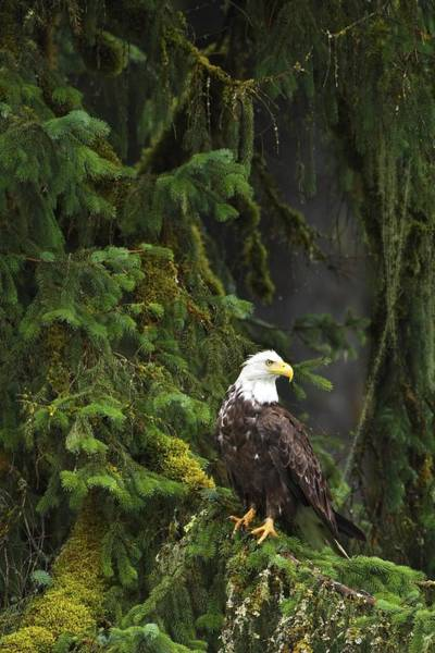 Falconiformes Photograph - Eagle In The Woods by Richard Wear